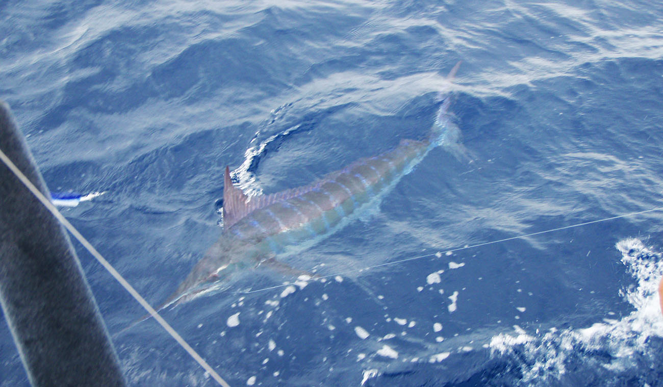 large blue marlin in the water beside the Tuna Duck boat