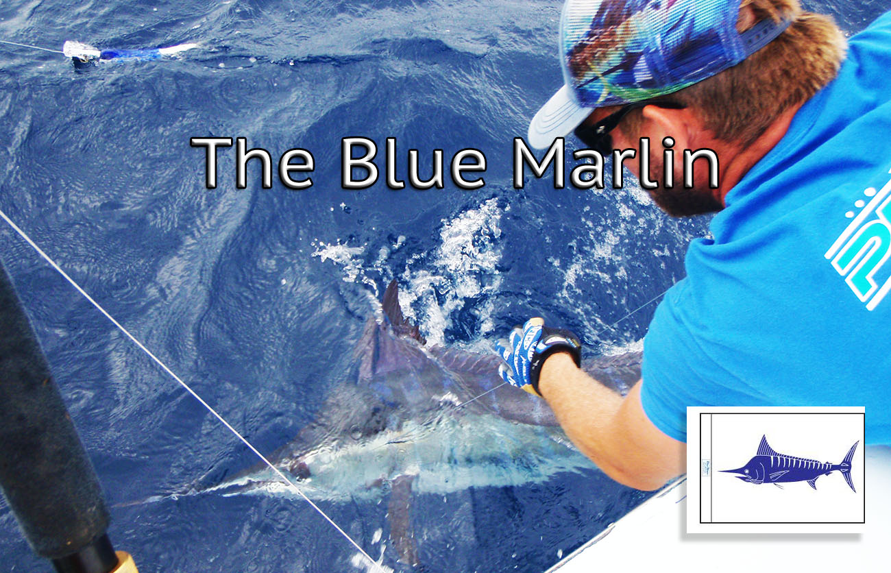 mate cutting the leader on a blue marlin