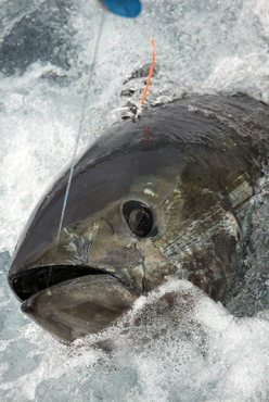 Bluefin tuna fishing from the outer banks of north carolina for Tuna fishing north carolina