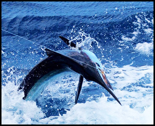 a hooked and fighting blue marlin