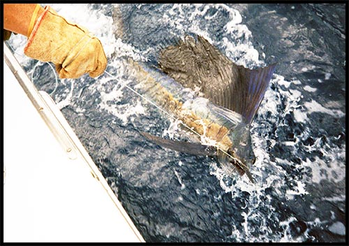 sailfish being released